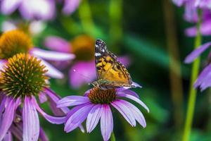 close-up de uma borboleta em uma coneflower