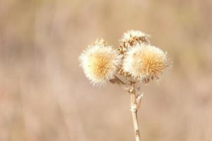 Close-up of dried thistles