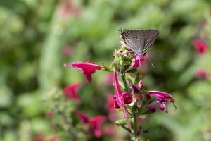 vlinder op roze bloemen