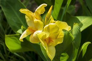 Yellow canna lily flowers
