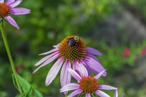 abejorro en una flor
