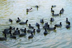 muchas fochas en el agua