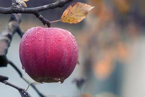 rode appel in een boom
