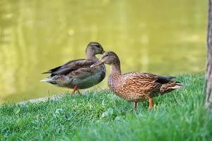 dos patos en la orilla del lago