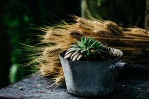 Succulent plant and wheat on a wooden table photo