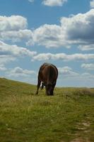Cow grazing on grass