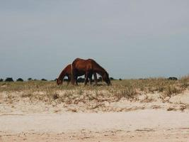 Two horse eating grass