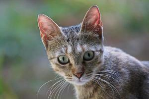 gatito gris mirando