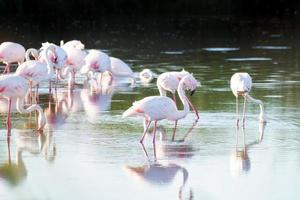 Flamingos feeding in the water