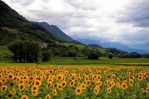 campo di girasoli vicino alle colline