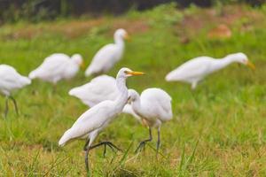 Flock of egrets photo