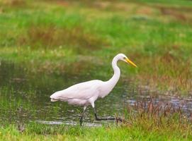 Egret in the marsh photo