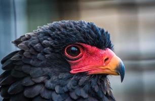 Close-up of a Bateleur eagle