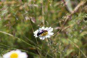 escarabajo en una margarita