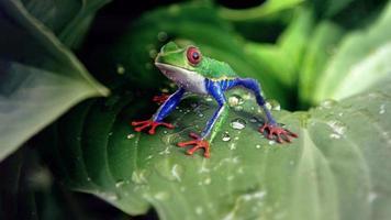 perereca olhos vermelhos nas folhas das plantas foto