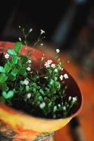 Tiny light pink flowers blooming in flower pot, home plant photo