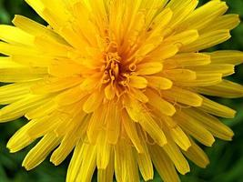 Close-up of a dandelion flower photo