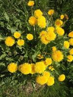 Yellow dandelions in the park