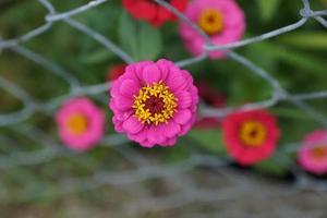 Pink zinnia flowers photo