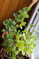 Homeplant Melisa mint in flowerpot, medicinal herb at home