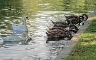 cisnes en el agua del lago