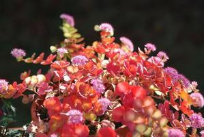 sedum sieboldii planta