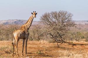Giraffe in South Africa photo