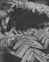 Black and white fern
