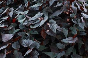 hojas de la planta de begonia