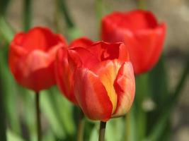 Red tulip blooms