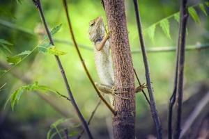 Chameleon on branch