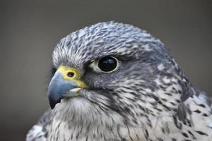 Falcon up close