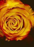Yellow rose studio lighting