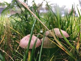 bruine champignons