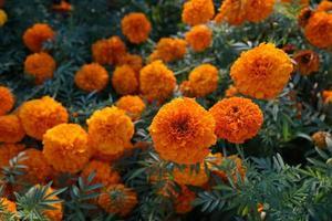 Orange marigolds in summer