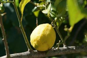 limón a la luz del sol
