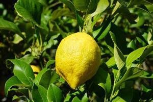 limón en el limonero