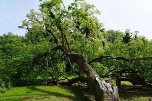 Large old tree photo