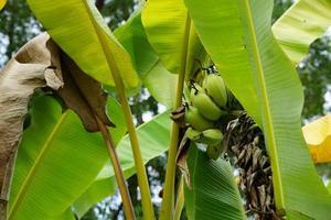 plátanos verdes y hojas de plátano