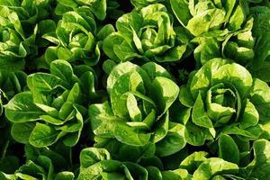 ensaladas verdes frescas