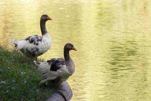 dos gansos en la orilla del lago