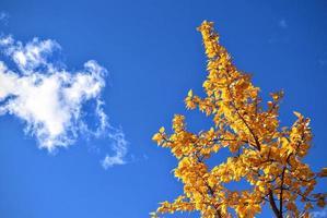 Yellow tree and blue sky photo