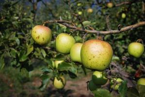 manzanas maduras en el árbol