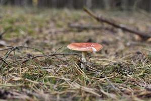 Red amanita mushroom