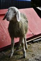 Wild mountain sheep photo