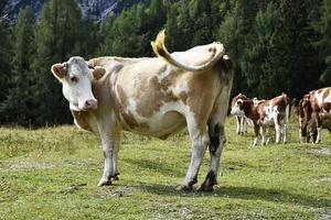 Wild Slovenia cows