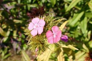 flores rosas dulces william