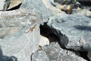 Eidechse auf dem Felsen foto