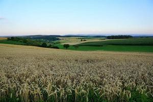 campo de trigo en hegau, alemania