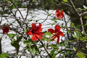 hibiscos en primavera